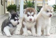 Чистокровные щенки Сибирского Хаски